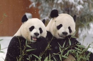 The Smithsonian's National Zoo keeps giant pandas Mei Xiang (L) and Tian Tian apart all year, except for during the one day a year when Mei goes into estrus.
