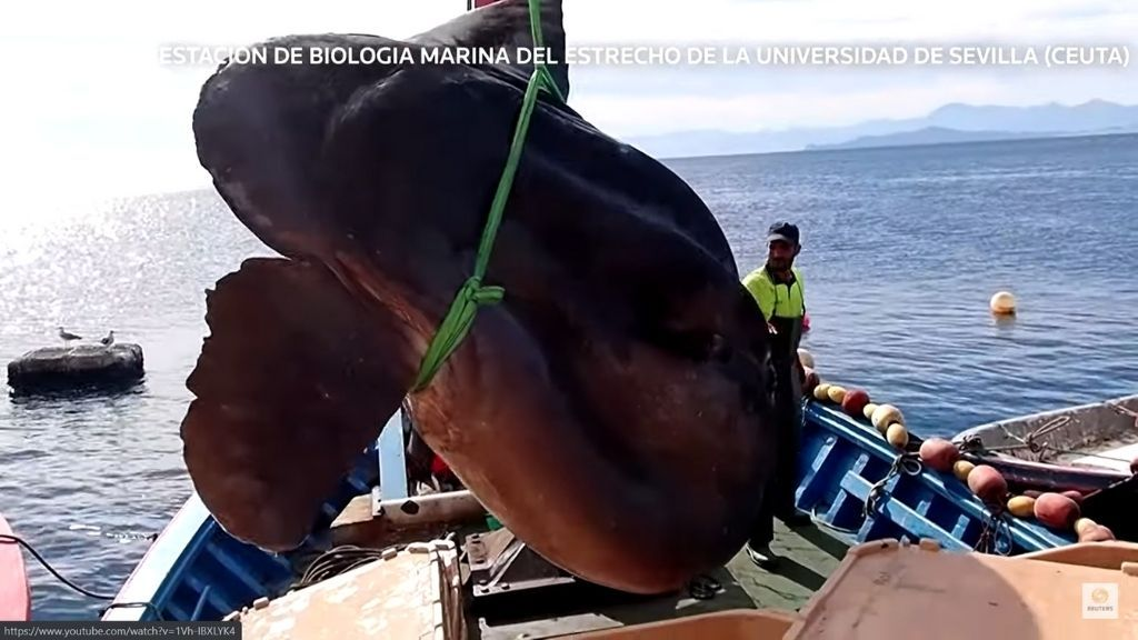 4,400-pound sunfish caught off North Africa literally tips the scales