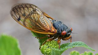 Brood X is the most geographically widespread 17-year cicada population in the United States.