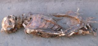 one of the Nubian mummies studied by the team led by Amber Campbell Hibbs and George Armelagos at Emory University