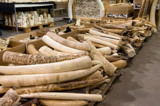A pile of old ivory tusks.