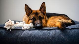 German shepherd fast asleep in the best large dog bed