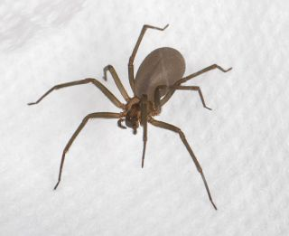 A brown recluse, <em>Loxosceles reclusa</em>. This spider is identified by a dark, violin-shaped mark on its head. Its venom can cause a deep wound in humans that takes weeks or even months to heal and can produce symptoms such as nausea and a fever.