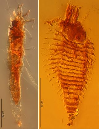 Ancient mites trapped in amber