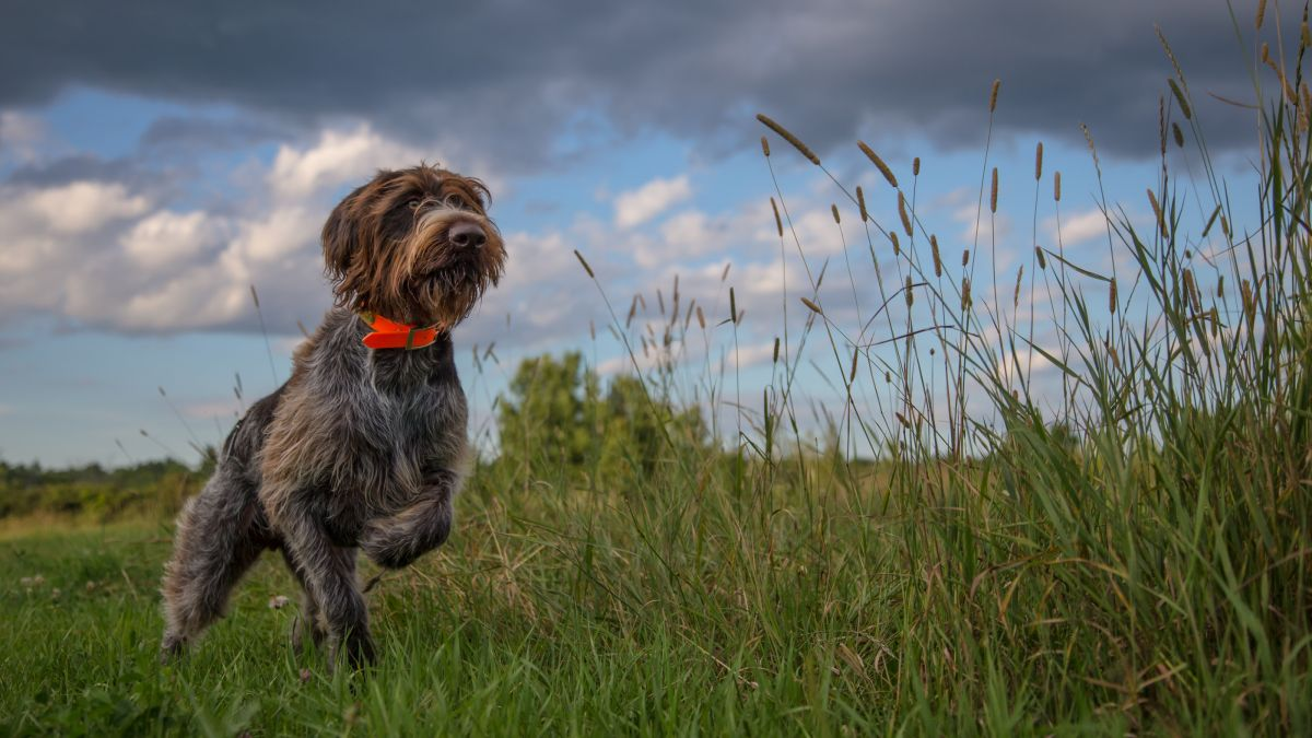 Dogs may sense Earth's magnetic field and use it like a compass