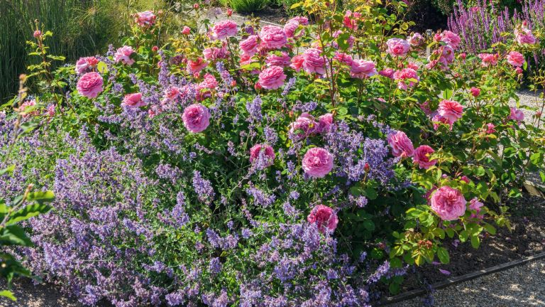 Cottage garden with roses