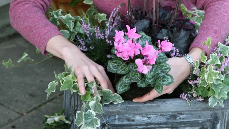 planting up a winter container