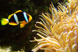 Clownfish swimming near sea anenome. Credit: sxc.hu