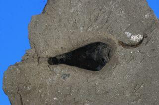 A fossil cuttlefish ancestor ink sac.
