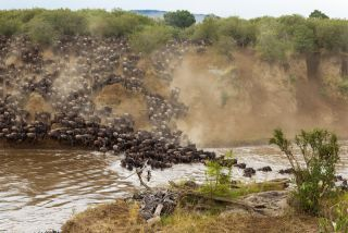 Wildebeests cross Mara River