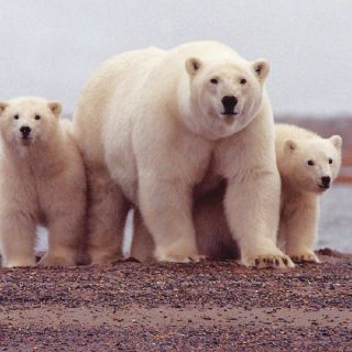 A new genomic study estimates polar bears split from other bears as much as five million years ago.