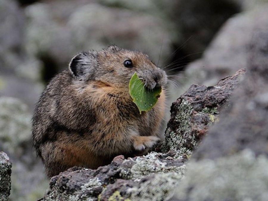 Photos of the Pika, North America's Cutest Mammal
