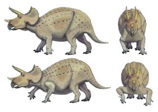 Researchers think the Triceratops had forelimbs with a posture more like that shown in the top images, versus the more reptile-like forelimb posture shown below.
