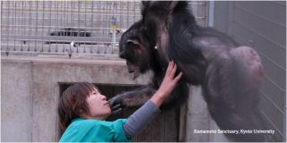 "Kanako Chimp with ""Downs Syndrome"""