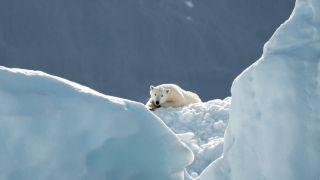 Polar bear lounges on glacier