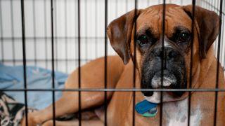 Boxer dog inside a dog crate