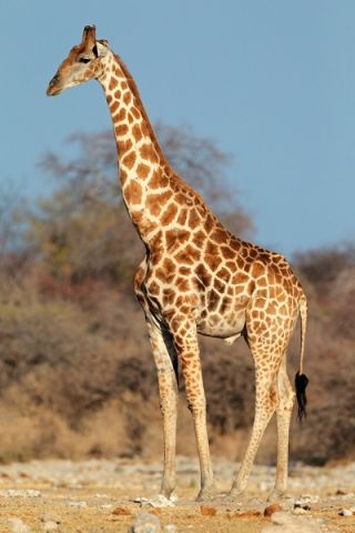 Giraffes have unusually skinny legs for such large animals, but specialized bone structure allows them to support immense weight.