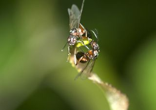 two southern wood ants during nuptial phase