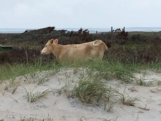This wild cow was the first found roaming North Carolina's outer banks, having likely swam miles to get there.