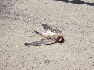 roadkill-bird