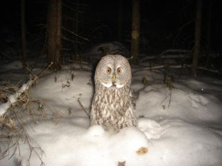 Great gray owl camera trap finalist