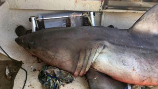 A great white shark jumped into a boat off the north coast of New South Wales, Australia, on May 27, 2017.