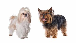 Origin of Small Dogs Pinned Down | Live Science