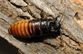 madagascar-cockroach