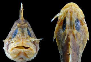 stonefish saber