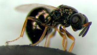 A female jewel wasp.