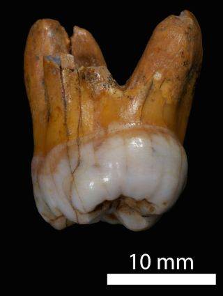 A molar from a Denisovan individual, found in a cave in Siberia.
