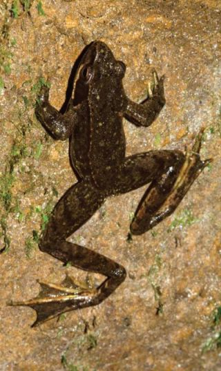 The Iberian frog is the first frog in Western Europe that has been observed living its entire life underground.