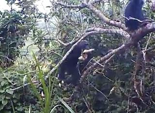 Chimp stealing food
