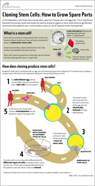 How Stem Cell Cloning Works (Infographic) | Live Science