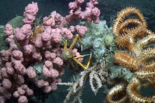 Lobster in coral offshore Virginia, dangers, endangered coral