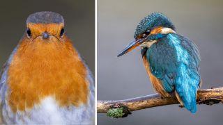 Kingfisher and robin
