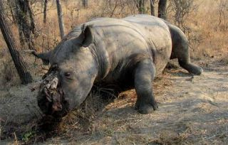 A black rhino carcass with the horn hacked off.