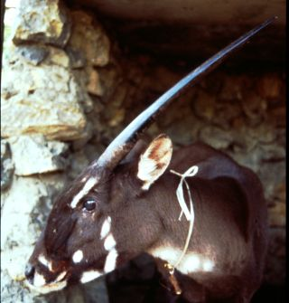 saola numbers, rare mammals, saola images, saola video, what are the rarest animals in the world, endangered species news, animals