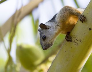A variegated squirrel climbs in a tree