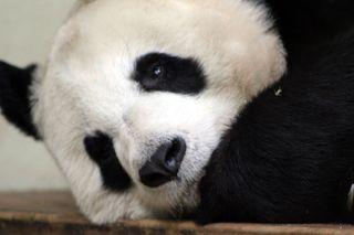 pandas, mating, habitat