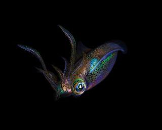 Squid Underwater Photo