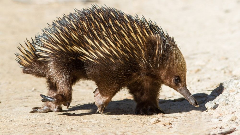 Scientists unravel mystery of echidnas' bizarre 4-headed penis - Livescience.com