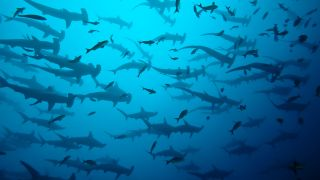 A school of scalloped hammerhead sharks (Sphyrna lewini) swims in the Galapagos.