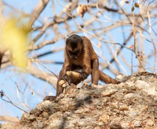 A capuchin monkey bangs stones together in Brazil. This is the first evidence that primates not in the human lineage can accidentally make broken stones that look like early tools.