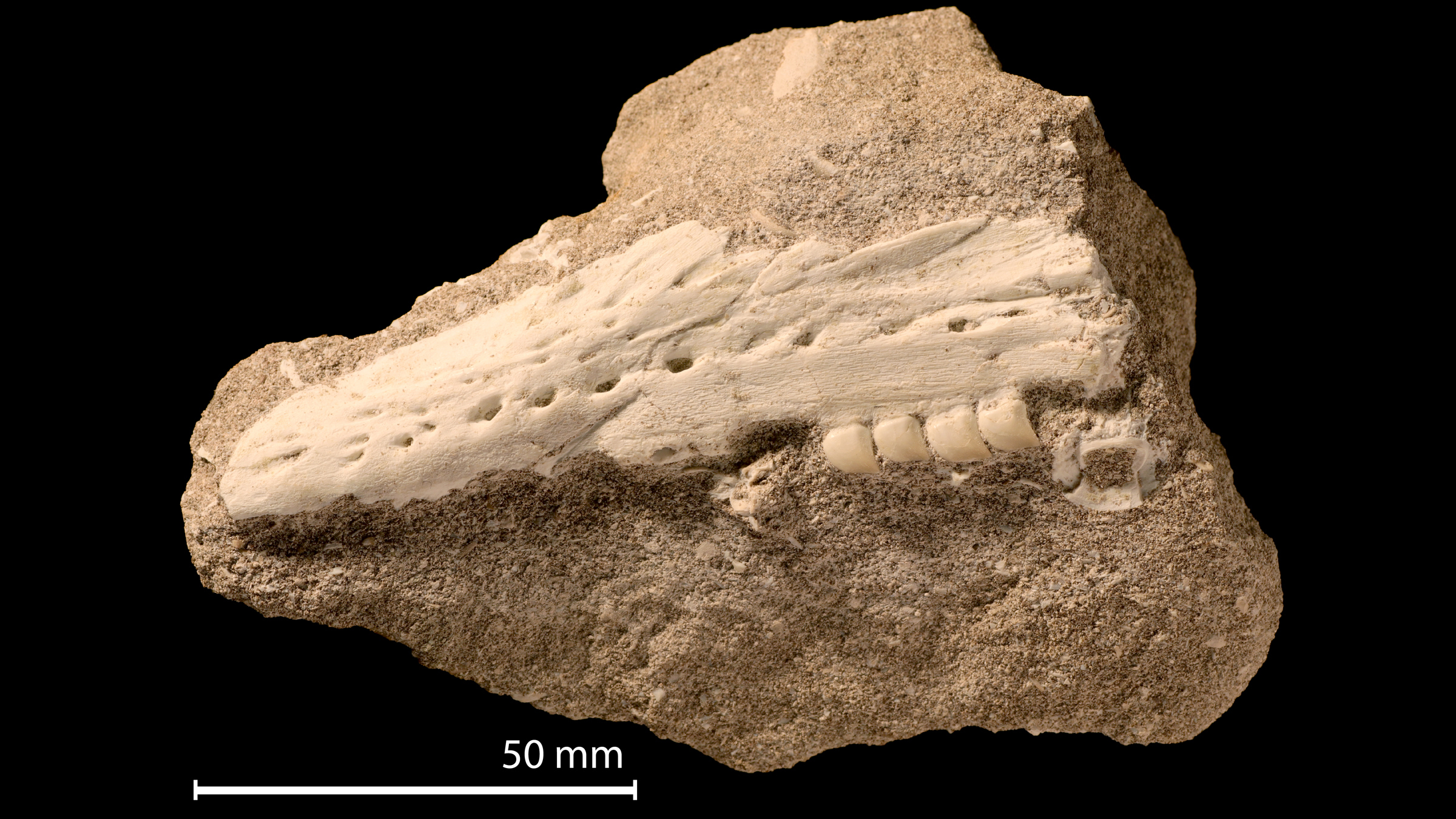 The fossil jaw and teeth (before preparation) of Xenodens calminechari