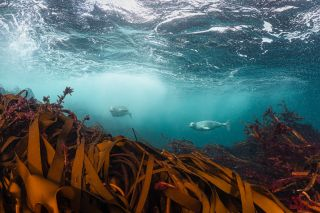 grey seals underwater.