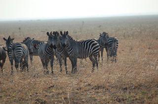 zebras, animals, animal behavior