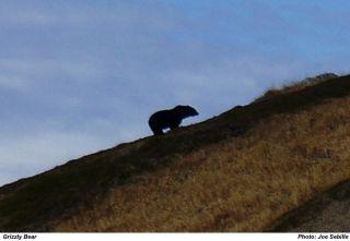 grizzly bear cascades photo