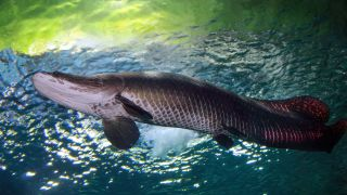 The arapaima, one of the world's largest freshwater fish, is native to the Amazon River.