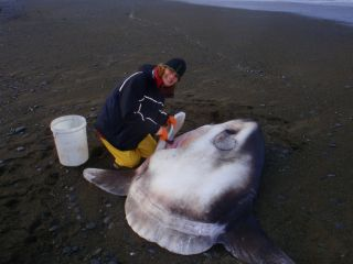 Marianne Nyegaard dissects a sunfish that washed ashore south of Christchurch, New Zealand in May 2014.